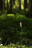 Wood orchid ( Dactylorchis maculata ) Stock Photos