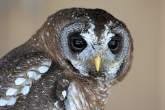 Wood Owl Portrait Stock Photography