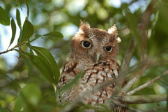 Wood Owl in the Tree Royalty Free Stock Image