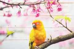 Wood panel with parrot and sakura spring Royalty Free Stock Photo
