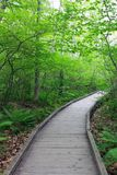 Wood path through deciduous forest. Wood plank walkway with spring trees and ferns Royalty Free Stock Photography