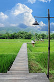 Wood path over rice fields Stock Photos