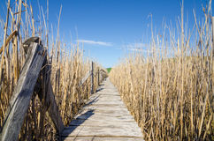 Wood path on a reed field Stock Photography
