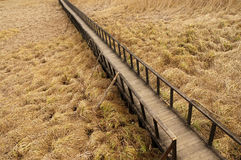Wood path on a reed field Stock Image