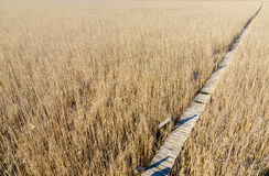 A wood path threugh a reed field Royalty Free Stock Images