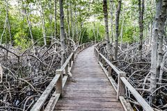 Wood path way among the Mangrove forest Royalty Free Stock Photography