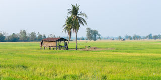 Wood pavilion in field rice Stock Image