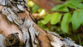 The wood with grey pealing skin texture royalty free stock photo