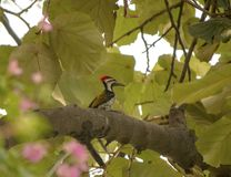 Wood pecker. Bird red feathers wings royalty free stock images