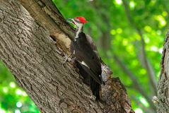 Wood Pecker. Black, white and red wood pecker bird digging frantically on the maple tree royalty free stock photo