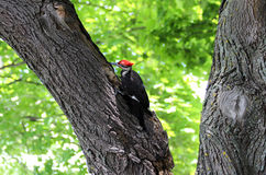 Wood Pecker. Black, white and red wood pecker bird digging frantically on the maple tree royalty free stock photography