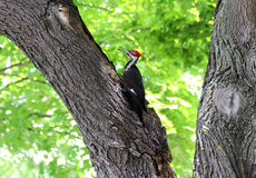 Wood Pecker. Black, white and red wood pecker bird digging frantically on the maple tree stock photo