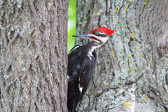 Wood Pecker. Black, white and red wood pecker bird digging frantically on the maple tree stock images