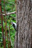 Wood Pecker in Oakville. A wood pecker in oakville lakeside park working his trees Royalty Free Stock Image