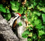 The WOOD-pecker pecking. Calm , Quiet and Peaceful royalty free stock photo