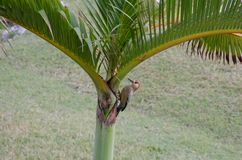 Wood Pecker pecking on Palm Tree. Wood Pecker pecking on a Palm Tree stock photography