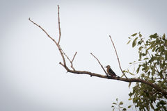 Wood pecker in Sundarbans national park in Bangladesh. Wood pecker in the Sundarbans national park, famous for its Royal Bengal Tiger in Bangladesh royalty free stock photography