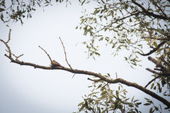 Wood pecker in Sundarbans national park in Bangladesh. Wood pecker in the Sundarbans national park, famous for its Royal Bengal Tiger in Bangladesh royalty free stock images