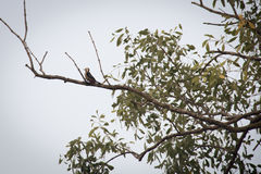 Wood pecker in Sundarbans national park in Bangladesh. Wood pecker in the Sundarbans national park, famous for its Royal Bengal Tiger in Bangladesh stock images
