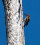 Wood Pecker. Woodpecker in a tree in Yellowstone Royalty Free Stock Photo