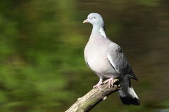 Wood pidgeon. Stock Photos