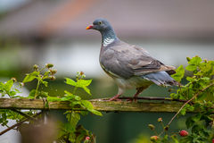 Wood pidgeon. Perched on fence stock photos