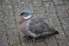 Free Wood Pigeon Stock Image - 13221511