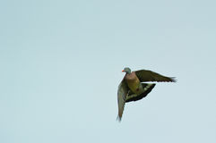 Wood Pigeon. Flying over the Can Cabanyes nature reserve in northeastern Spain stock photography