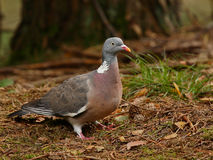 Wood pigeon Royalty Free Stock Image