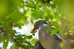 Wood Pigeon Royalty Free Stock Images