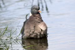 Wood pigeon. In water puddle of floodplain area Meinerswijk, Arnhem, Netherlands Stock Photo