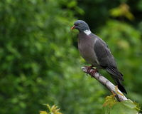 Wood pigeon Royalty Free Stock Photography