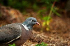 Wood pigeon. Wild pigeon or wood pigeon Stock Photos