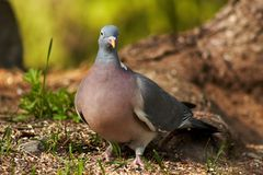 Wood pigeon royalty free stock photos