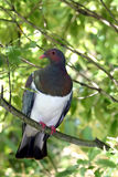 Wood Pigeon. New Zealand wood pigeon sitting in a tree Stock Image