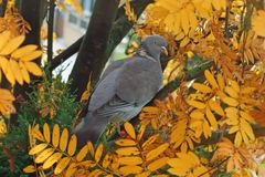 Wood Pigeon in autumn tree - golden leaves stock photo