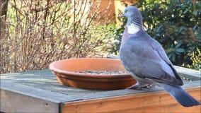 Wood pigeon, big, dove, feeding bird food stock video