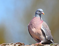 Wood pigeon. Bird with copyspace royalty free stock photos