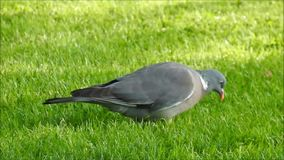 Wood pigeon bird looking for food in park. Video of a wood pigeon bird looking for food scraps in a park in whitstable 7th june 2018 stock footage