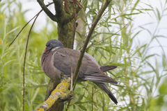 Wood Pigeon (Columba palumbu) Stock Images