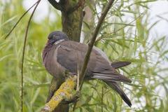 Wood Pigeon (Columba palumbu) Royalty Free Stock Photography