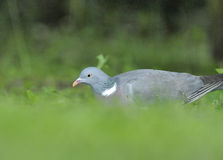 Wood pigeon (Columba palumbus). Poland.Meadows near Bug river.Spring Royalty Free Stock Image