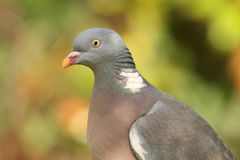 Wood pigeon (Columba palumbus) Stock Photo