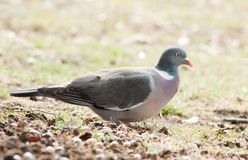 Wood pigeon (Columba palumbus) Royalty Free Stock Photo