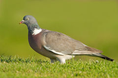 Wood pigeon (Columba palumbus) Royalty Free Stock Photos