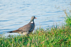 Wood pigeon. (Columba palumbus) Stock Photos