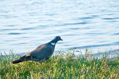 Wood pigeon. (Columba palumbus) Royalty Free Stock Photography