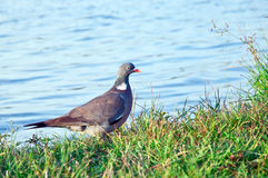 Wood pigeon. (Columba palumbus) Royalty Free Stock Photo