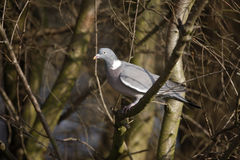 Wood pigeon, Columba palumbus Royalty Free Stock Photos