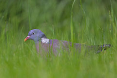 Wood-pigeon. Royalty Free Stock Photos